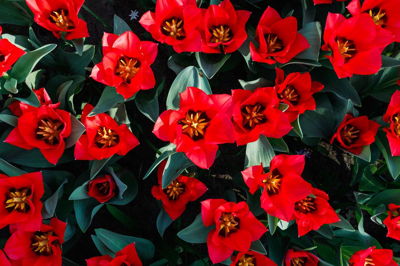7 Tips for Planting Tulip Bulbs - Longfield Gardens