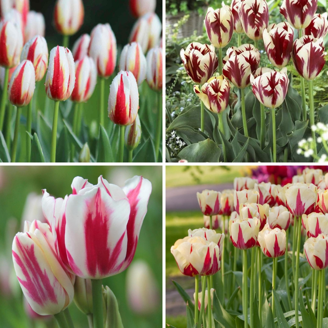 Discover the Beauty of Rembrandt Tulips - Longfield Gardens