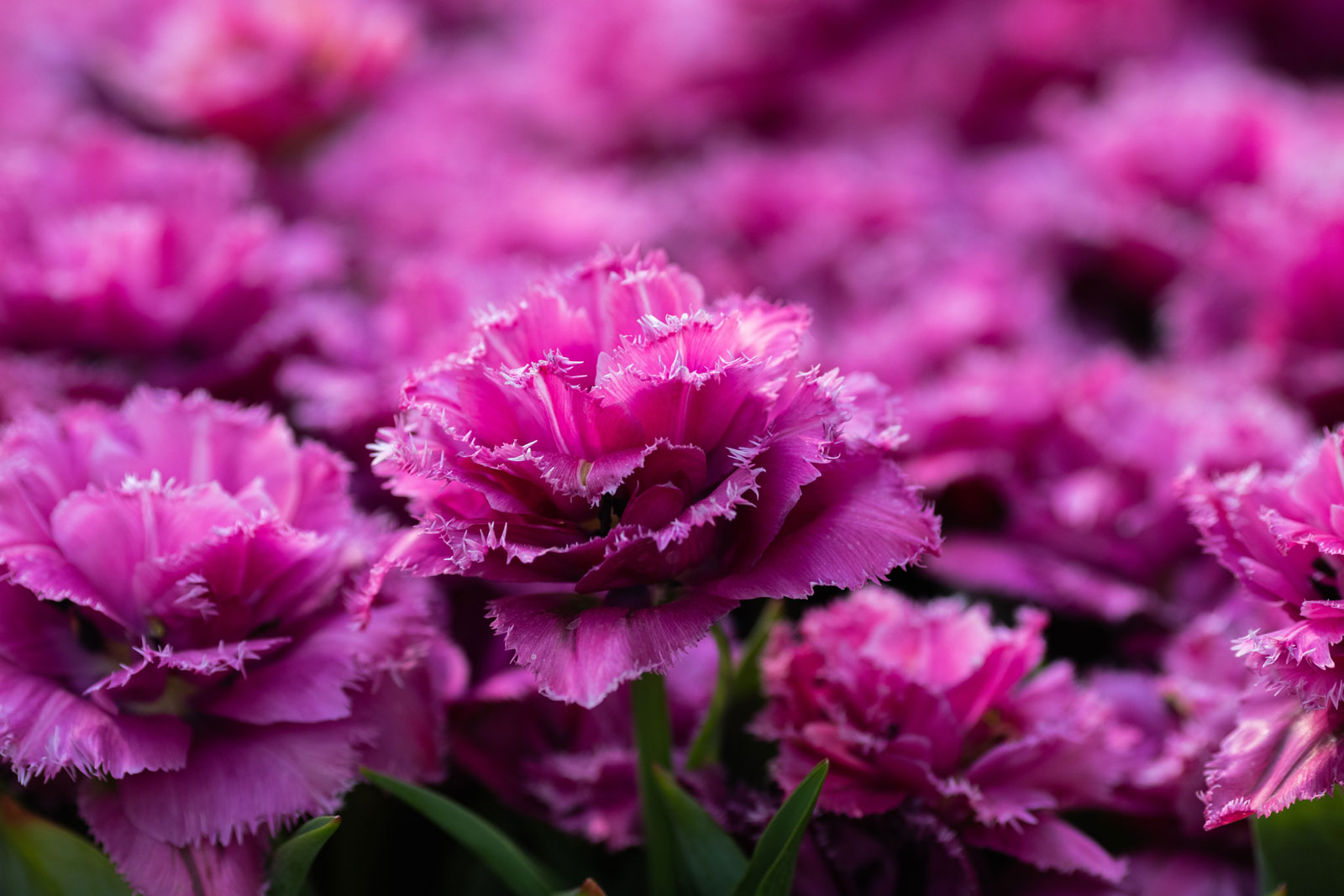 What to Plant This Fall: Inspiration from Holland - Longfield Gardens