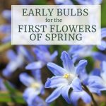 Early Blooming Bulbs for the First Flowers of Spring