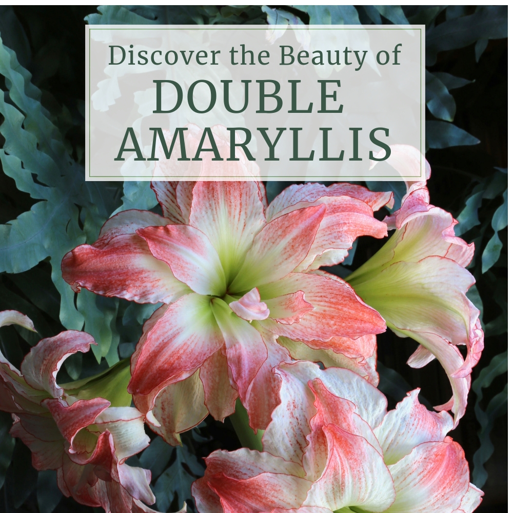 Discover the Beauty of Double Amaryllis - Longfield Gardens