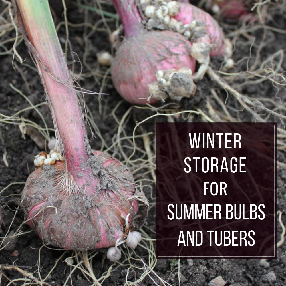 Winter-Storage-for-Summer-Bulbs-and-Tubers
