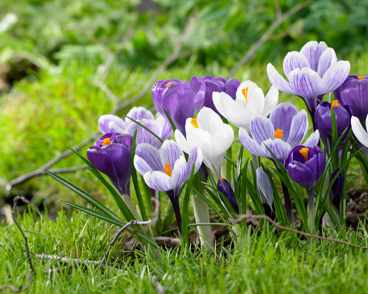 Early Blooming Bulbs for the First Flowers of Spring - Longfield Gardens