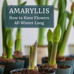 How to Have Amaryllis Blooming All Winter Long