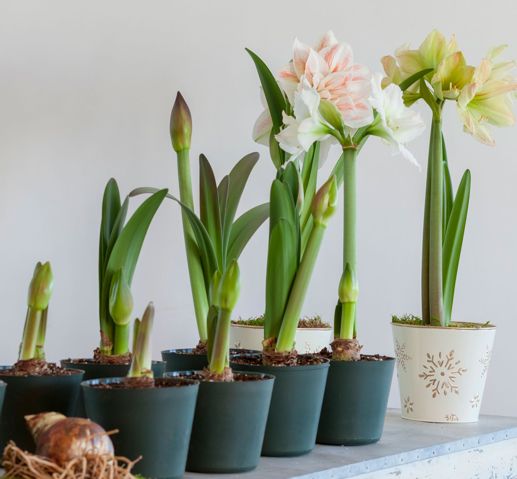 How To Have Amaryllis Blooming All Winter Long Longfield