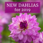New Dahlias for Your 2019 Flower Garden