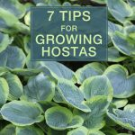 7 Tips for Growing Hostas