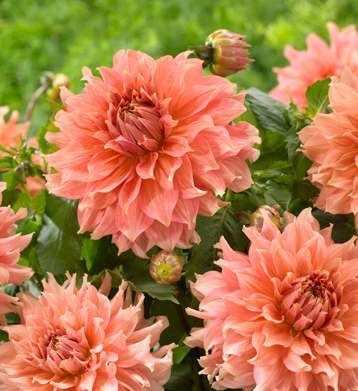 New Dahlias for Your 2019 Flower Garden - Longfield Gardens