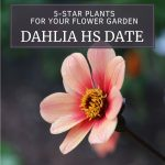 Five Star Plants for Your Garden: Dahlia HS Date