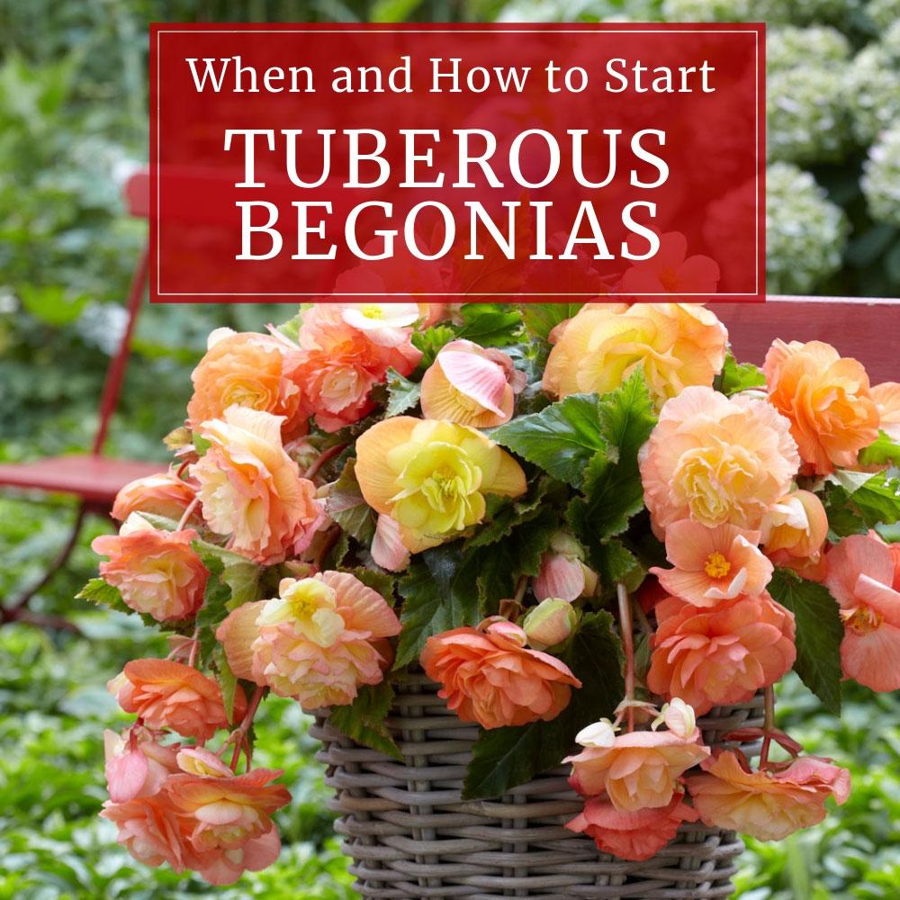 Tuberous-Begonias