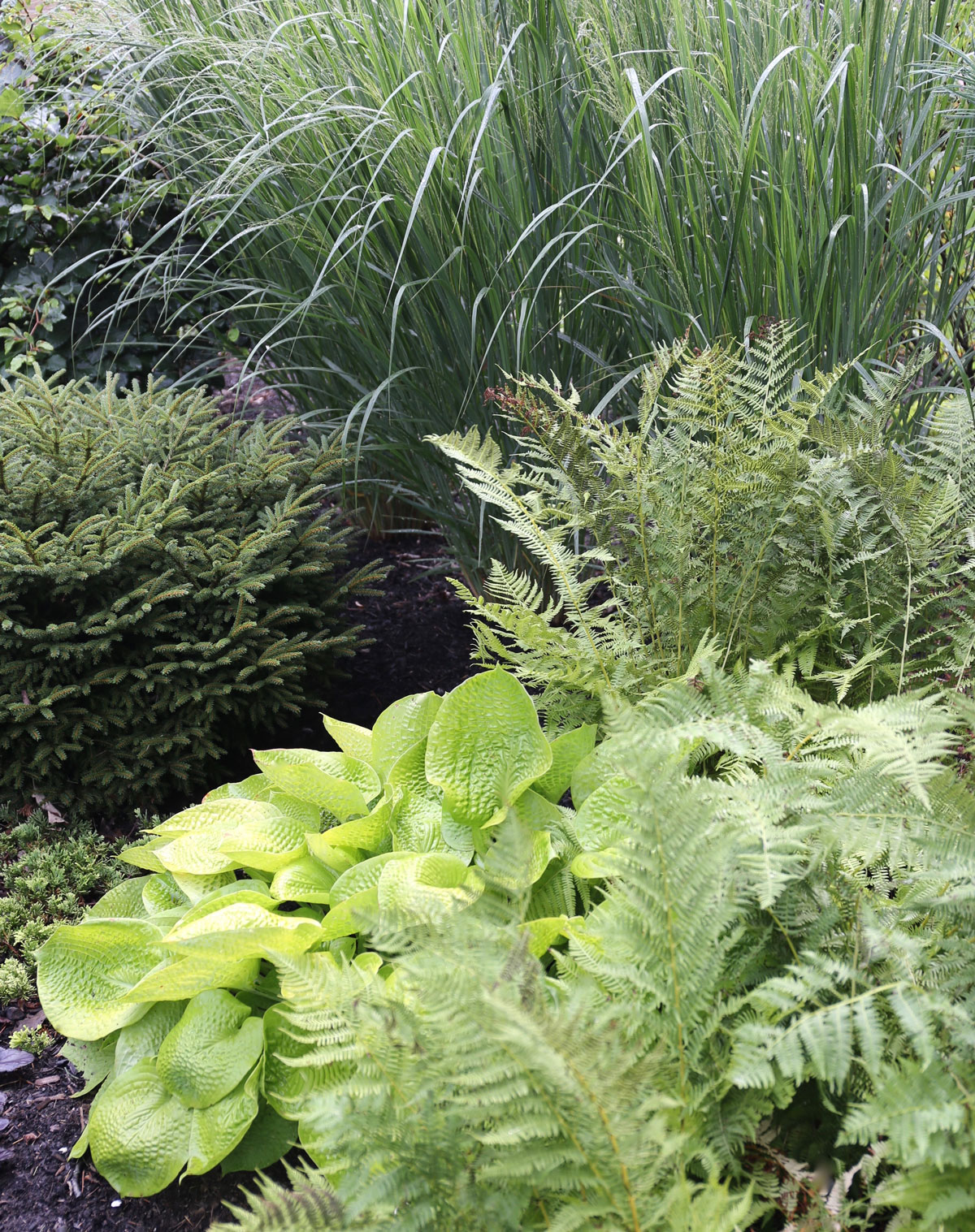 7 Tips for Growing Hostas - Longfield Gardens