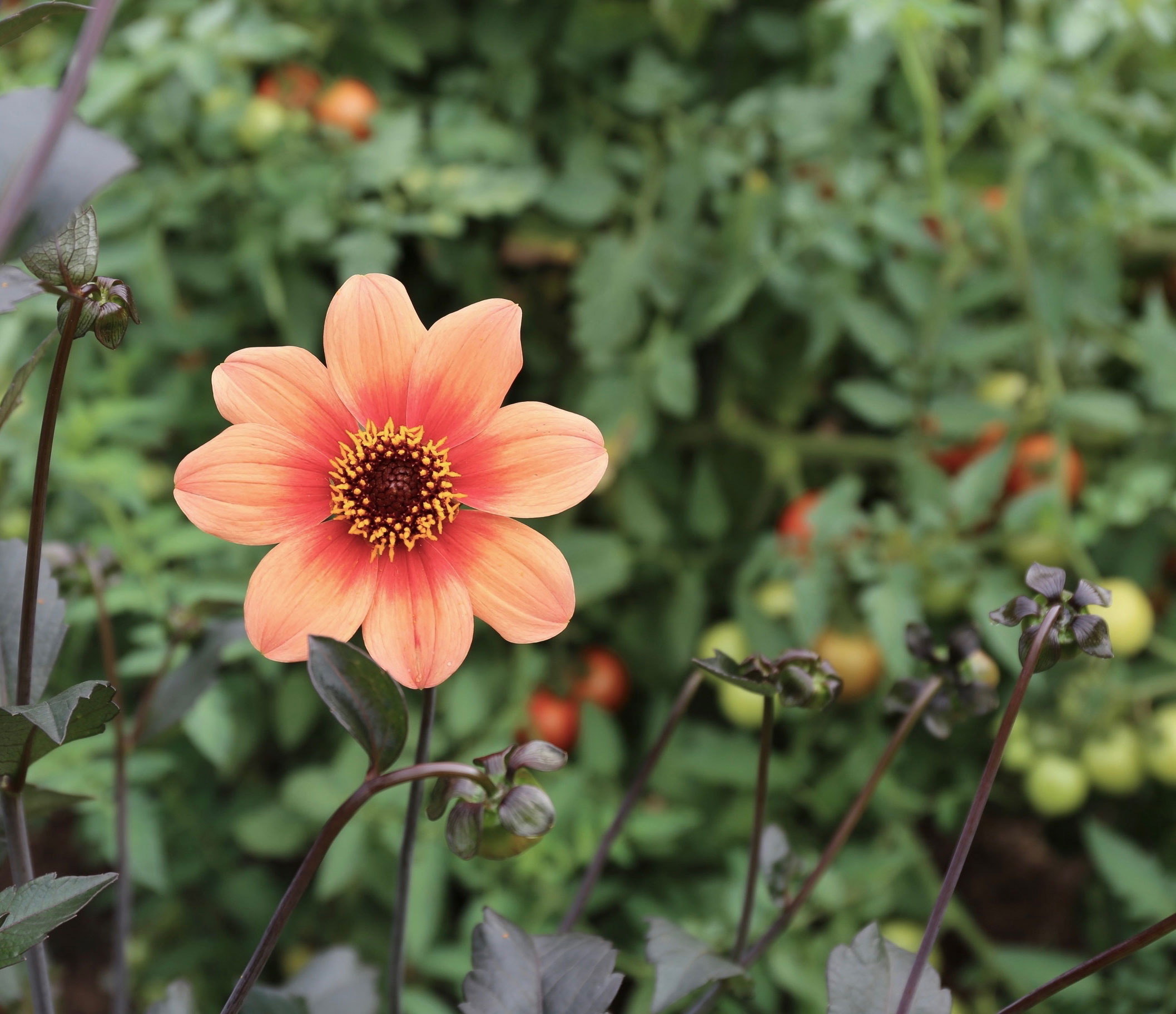 Five Star Plants for Your Garden Dahlia HS Date - Longfield Gardens