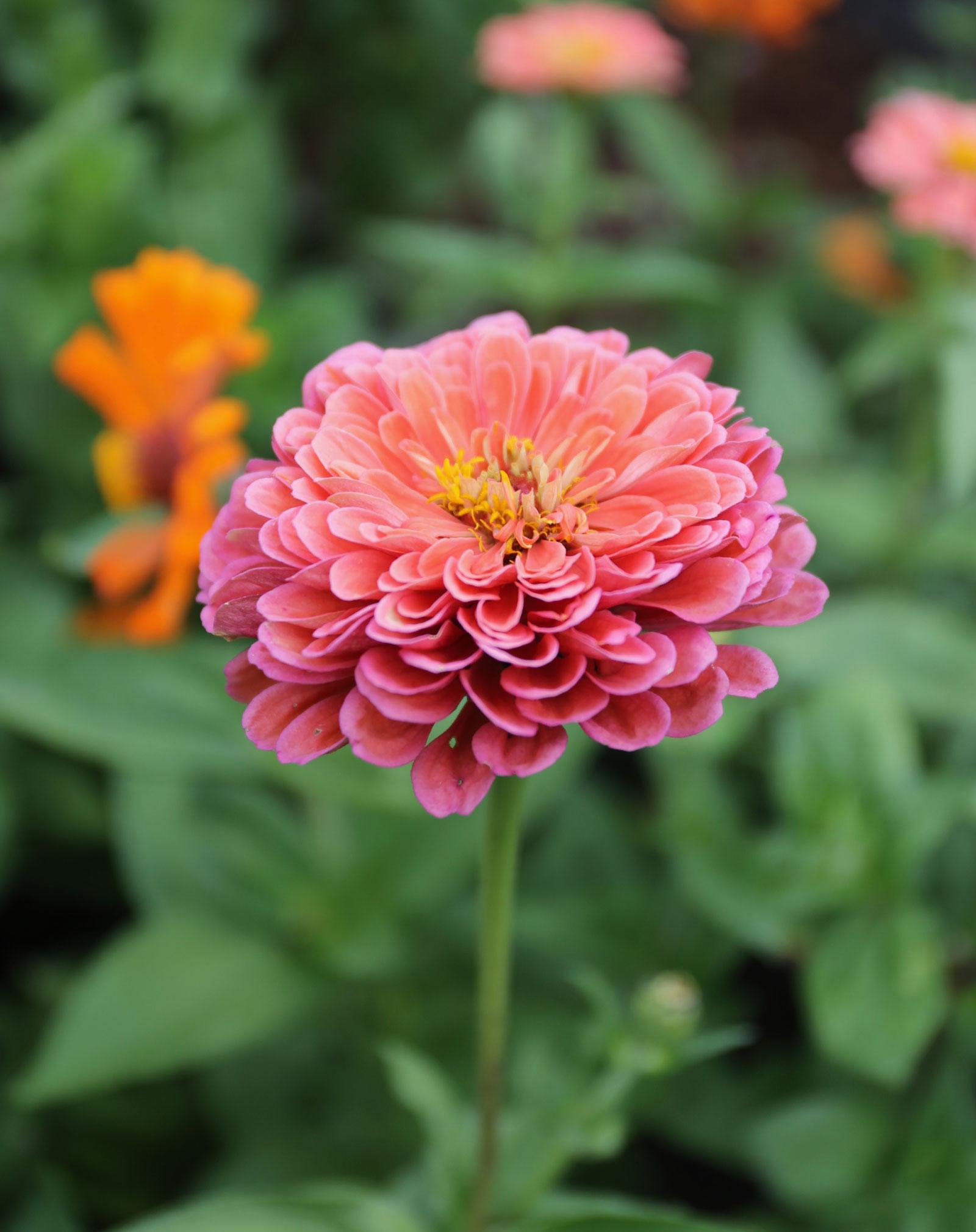 Coral Flowers The Trending Color Your Garden Needs Now Longfield Gardens