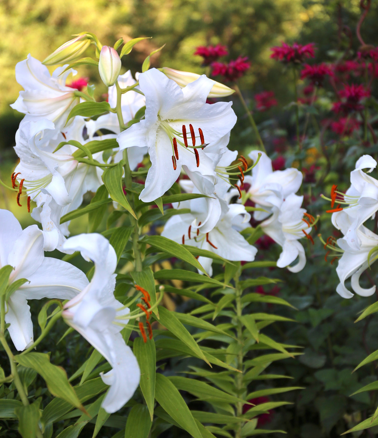 Top Lilies for Your Flower Garden - Longfield Gardens