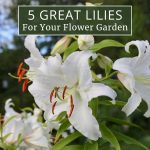 Top Lilies for Your Flower Garden