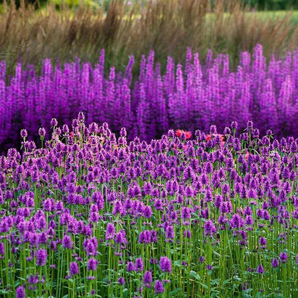 How To Use Purple In Your Flower Garden Longfield Gardens