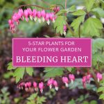 Five Star Plants for Your Flower Garden: Old-Fashioned Bleeding Heart