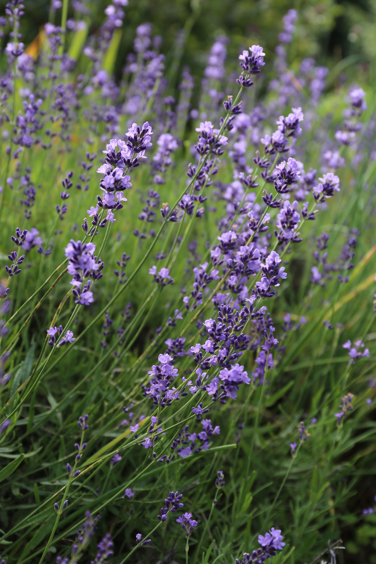 How to Use Purple Flowers in Your Garden - Longfield Gardens