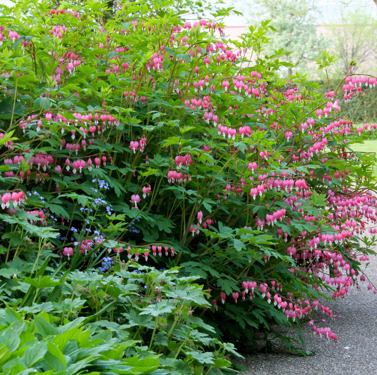 Plants for Your Flower Garden - Bleeding Heart - Longfield Gardens
