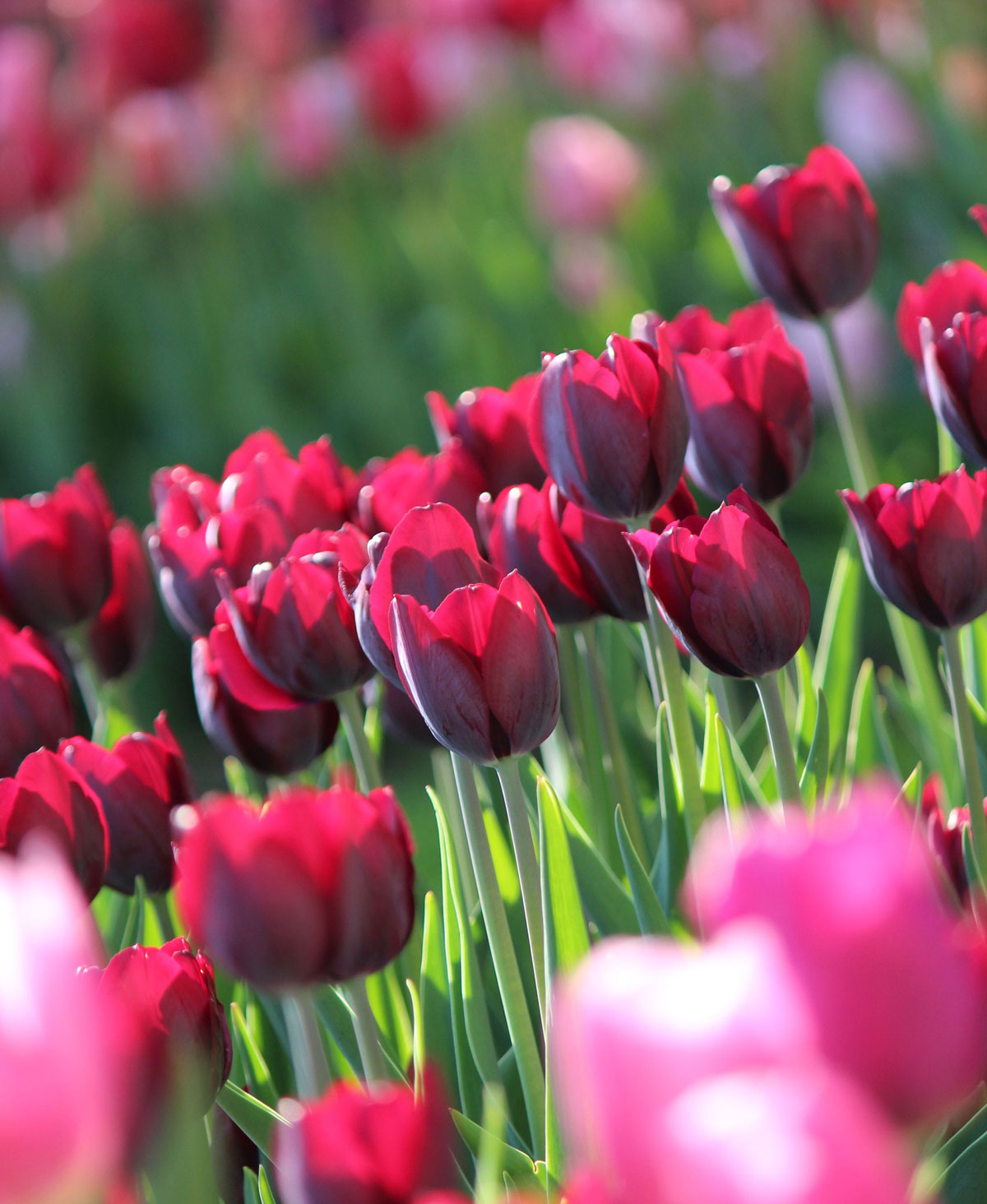 burgundy-tulips
