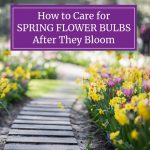 How to Care for Spring Flower Bulbs After They Bloom