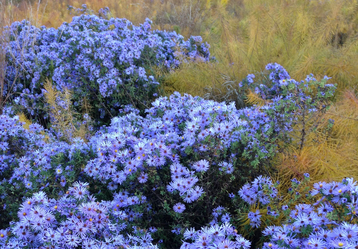 How to Use Blue Flowers in Your Garden - Longfield Gardens