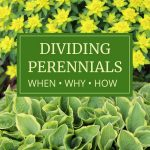 What to Know About Dividing Perennials