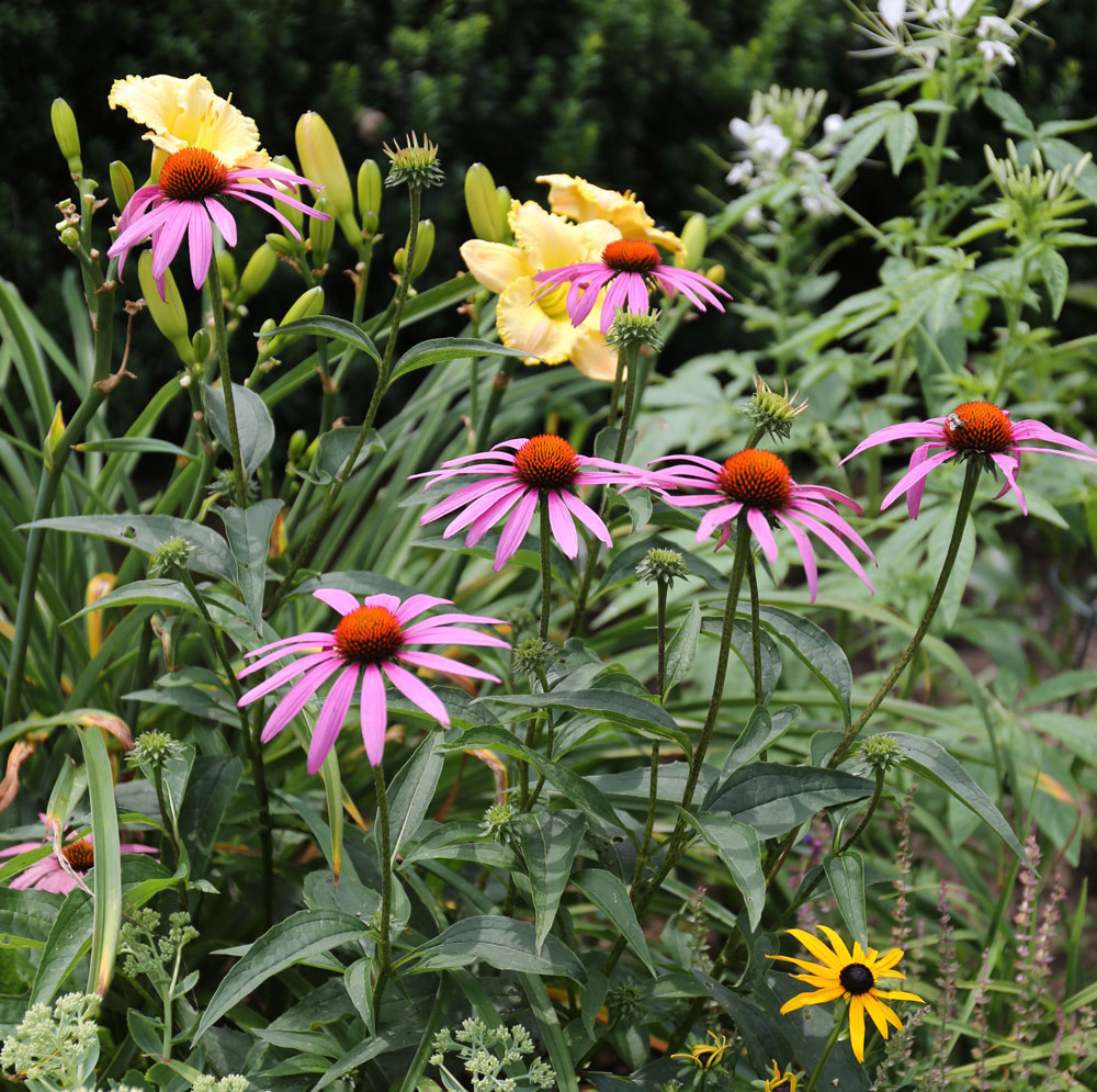 What to Know About Dividing Perennials - Longfield Gardens