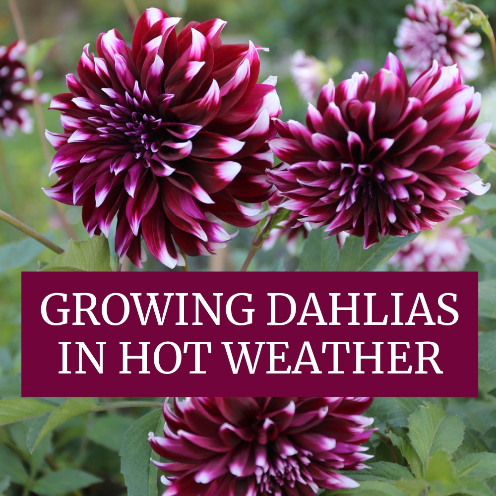 Growing Dahlias In Hot Weather Longfield Gardens