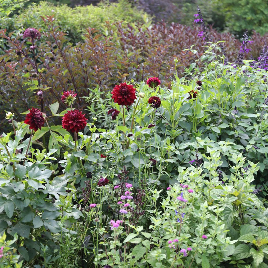 Growing Dahlias in Hot Weather - Longfield Gardens