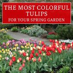 The Most Colorful Tulips for Your Spring Garden