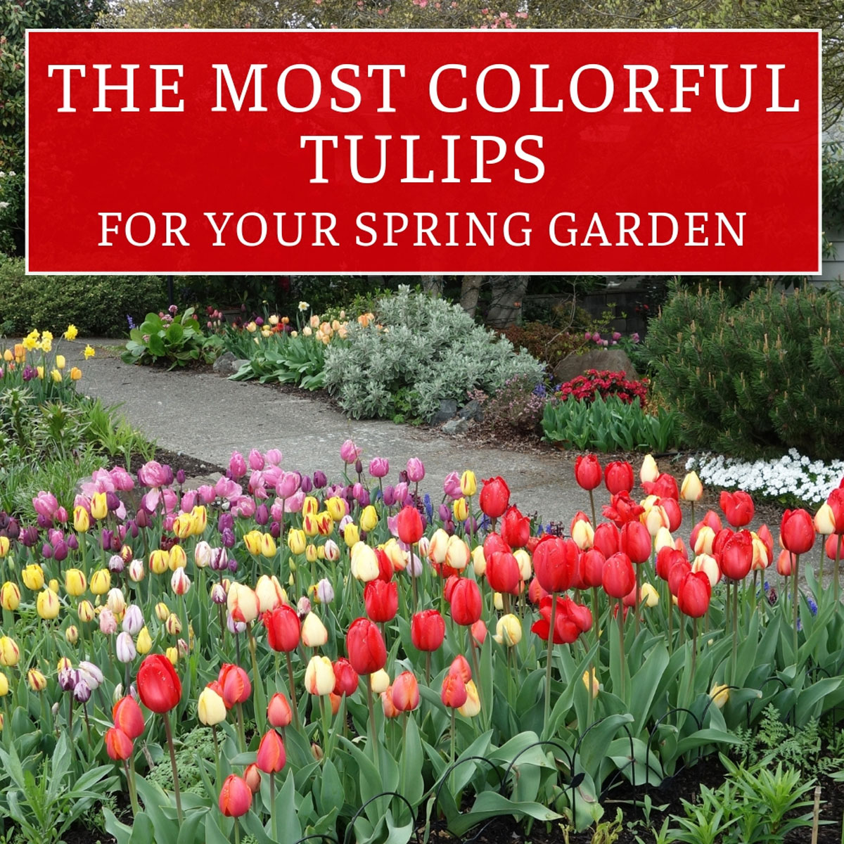Most-Colorful-Tulips-for-Your-Spring-Garden