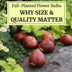Fall-Planted Flower Bulbs: Why Size and Quality Matter