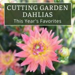 Cutting Garden Dahlias: This Year's Favorites
