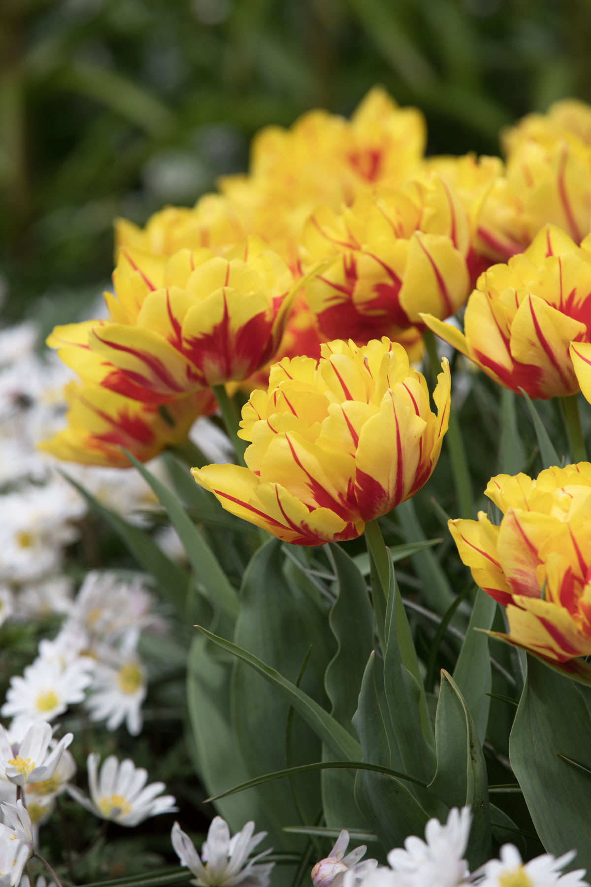 Most Colorful Tulips for Your Spring Garden - Longfield Gardens