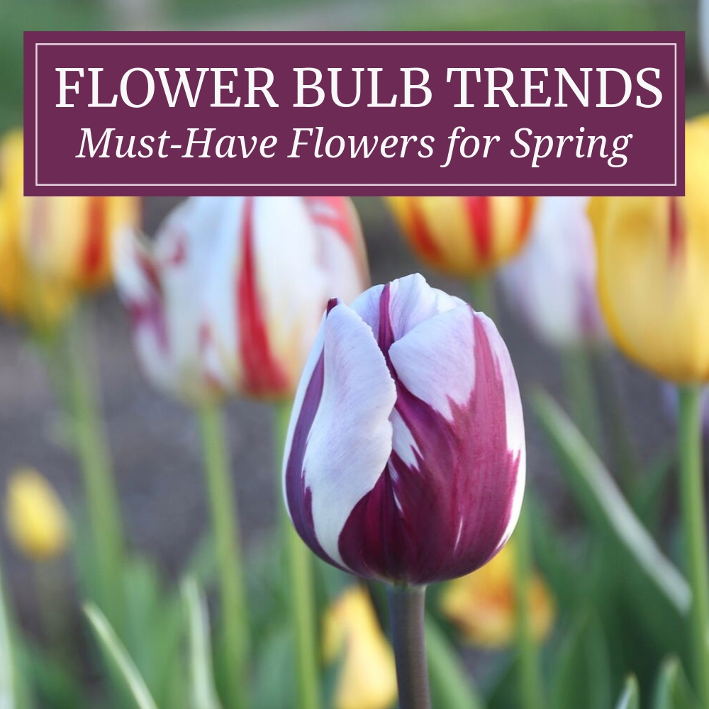Flower Bulb Trends for Spring - Longfield Gardens