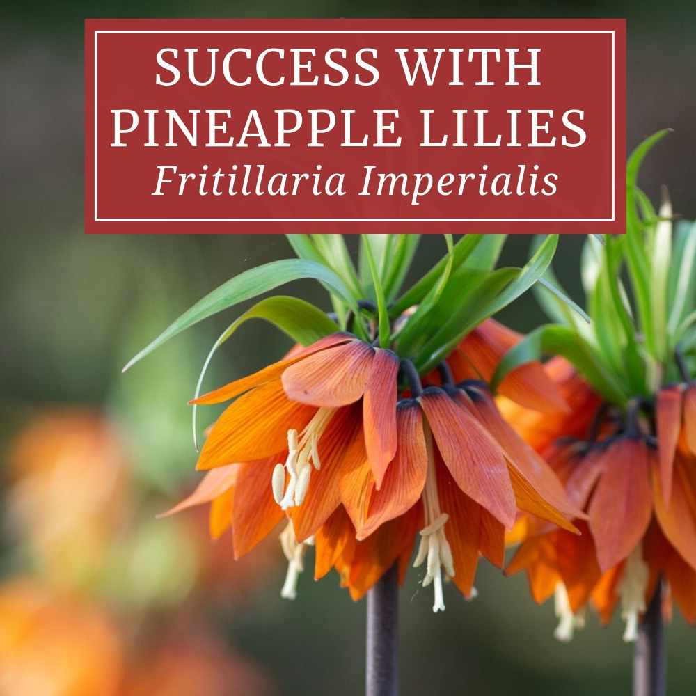 Fritillaria Imperialis Time To Plant Pineapple Lilies Longfield