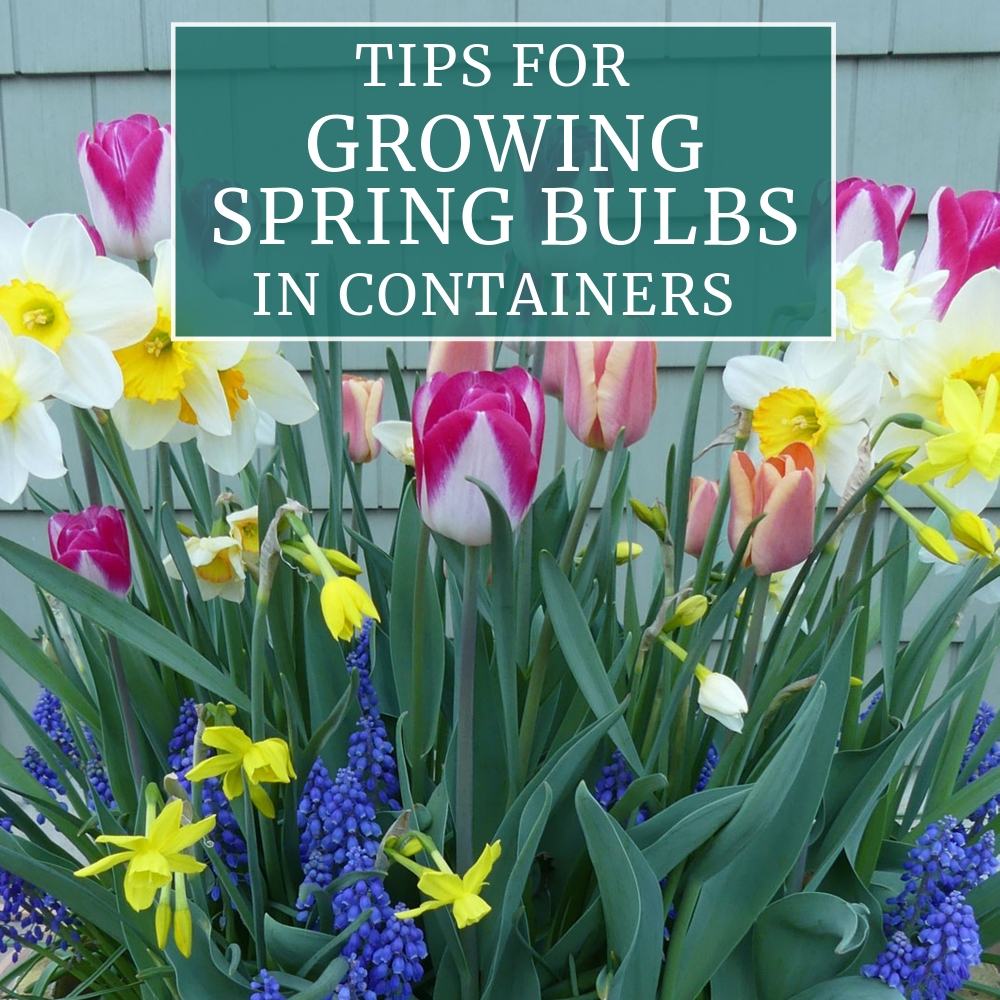 Tips for Growing Spring Bulbs in Containers