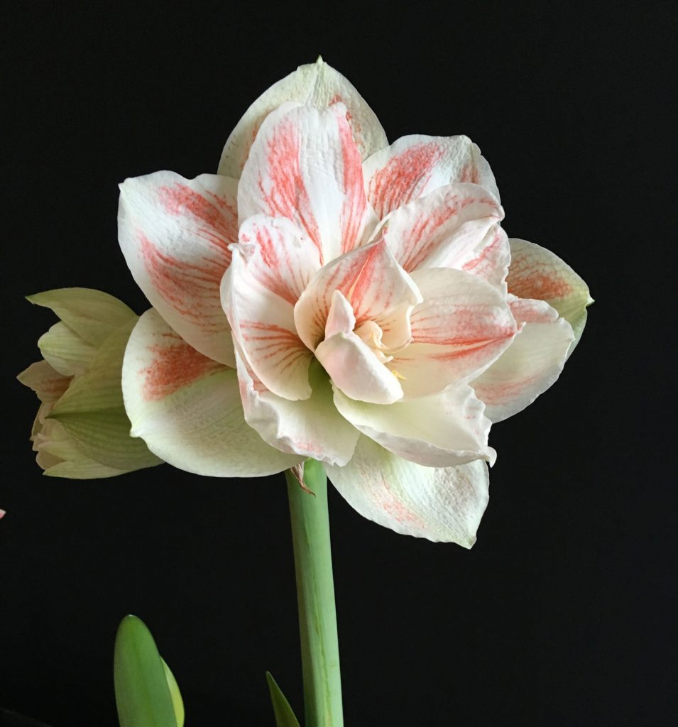 White Amaryllis Elegant Flowers for Mid-Winter - Longfield Gardens
