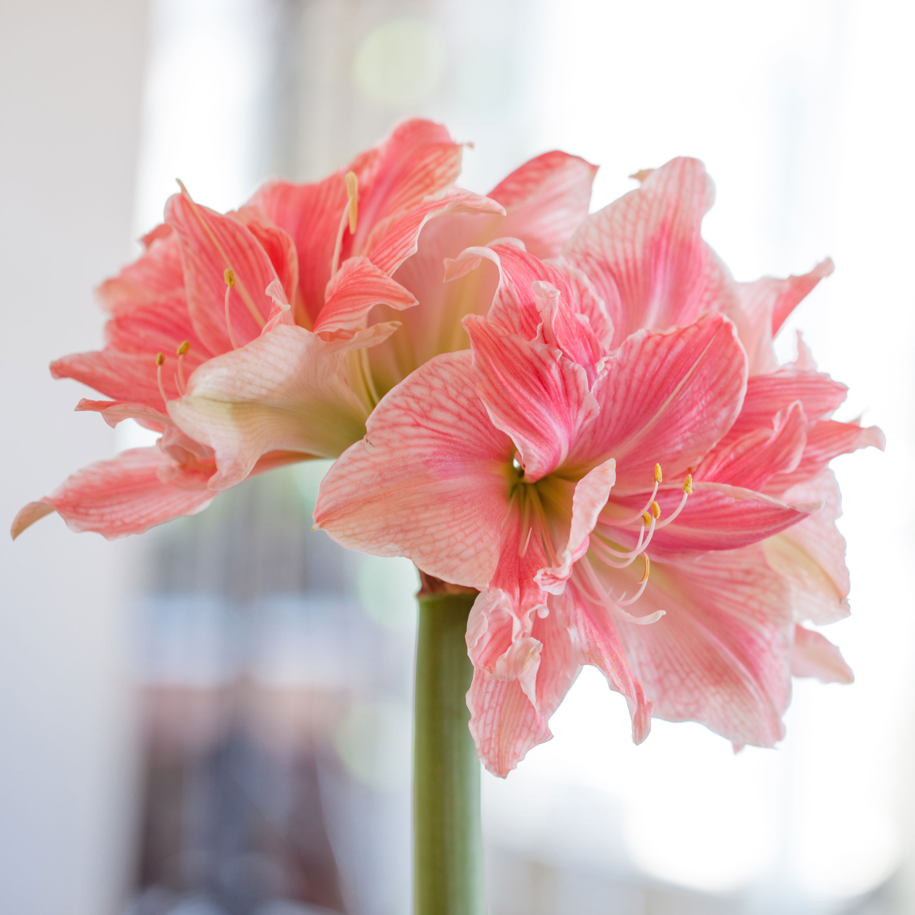 Amaryllis Bulbs: Give a Gift That Grows- Longfield Gardens