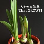 Amaryllis Bulbs: Give a Gift That Grows