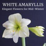 White Amaryllis: Elegant Flowers for Mid-Winter