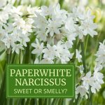 Paperwhite Narcissus: Sweet or Smelly?