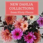 New Dahlia Collections from Flirty Fleurs