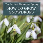 Craving Spring Flowers? Grow Snowdrops!