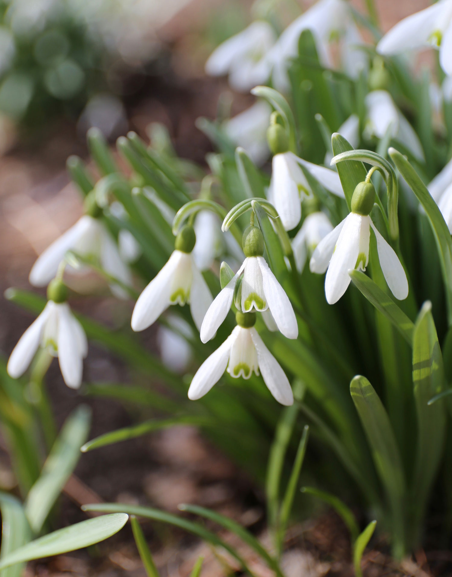How to Grow Snowdrops - Longfield Gardens