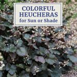 Colorful Heucheras for Sun or Shade