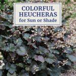 Colorful Heucheras for Sun or Shade