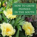 How to Grow Peonies in the South