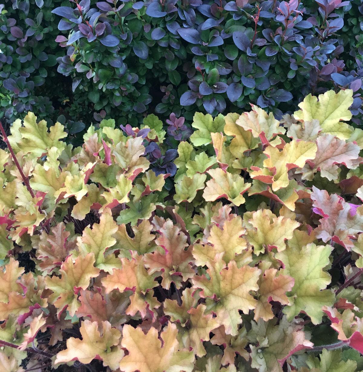 Colorful-Heucheras-for-Sun-or-Shade-Longfield Gardens